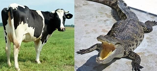 ko og krokodille
